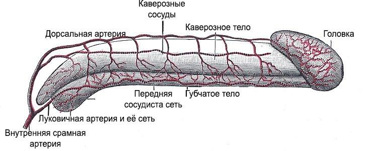 Структура полового члена мужчины